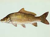 Common carp have an even, regular scale pattern.