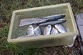 Draining fish.