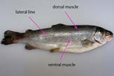 The main muscle of the fish.