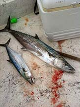 Spanish mackerel left, King mackerel right.