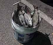Bucket full of mullet