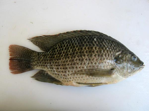 Smoked tilapia for Fishing for tilapia
