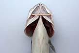 The uncut fish.