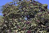 Elderberry tree